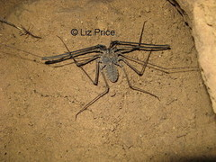 whip%20spider%20Battambang_392_lp.jpg
